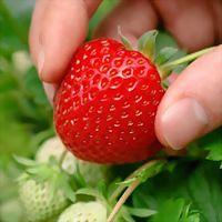 Logo 7) Erdbeeren Hollaus
